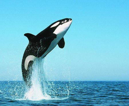最凶猛的海洋动物——虎鲸
